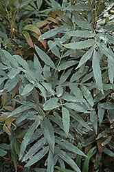 Fortune's Mahonia (Mahonia fortunei) at All Seasons Nursery