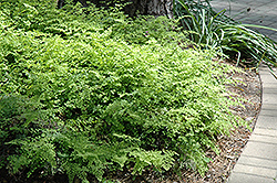 Southern Maidenhair Fern (Adiantum capillus-veneris) at All Seasons Nursery