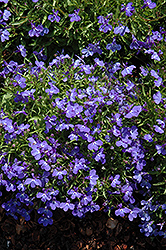 Sky Blue Palace Lobelia (Lobelia erinus 'Sky Blue Palace') at All Seasons Nursery