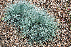 Beyond Blue™ Blue Fescue (Festuca glauca 'Casca11') at All Seasons Nursery