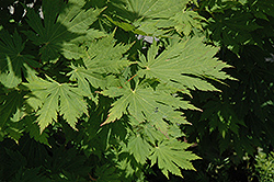 Rising Sun Fullmoon Maple (Acer japonicum 'Rising Sun') at All Seasons Nursery