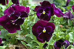 Colossus Neon Violet Pansy (Viola 'Colossus Neon Violet') at All Seasons Nursery
