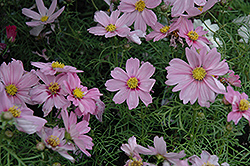 Sonata Pink Blush Cosmos (Cosmos bipinnatus 'Sonata Pink Blush') at All Seasons Nursery