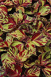 Wizard Mosaic Coleus (Solenostemon scutellarioides 'Wizard Mosaic') at All Seasons Nursery
