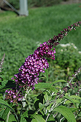 Buzz Pink Purple Butterfly Bush (Buddleia 'Buzz Pink Purple') at All Seasons Nursery