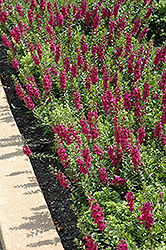 Archangel™ Raspberry Angelonia (Angelonia angustifolia 'Archangel Raspberry') at All Seasons Nursery