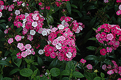 Amazon Rose Magic Pinks (Dianthus 'Amazon Rose Magic') at All Seasons Nursery