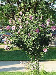 Aphrodite Rose of Sharon (Hibiscus syriacus 'Aphrodite') at All Seasons Nursery