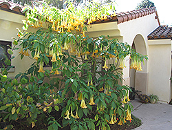 Charles Grimaldi Angel's Trumpet (Brugmansia 'Charles Grimaldi') at All Seasons Nursery