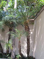 Pygmy Date Palm (Phoenix roebelenii) at All Seasons Nursery