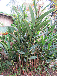 Shell Ginger (Alpinia zerumbet) at All Seasons Nursery
