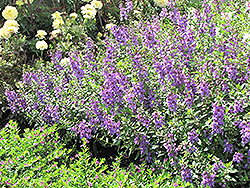 Serena Lavender Angelonia (Angelonia angustifolia 'Serena Lavender') at All Seasons Nursery