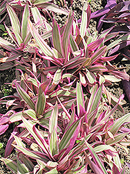 Variegated Moses In The Cradle (Tradescantia spathacea 'Variegata') at All Seasons Nursery