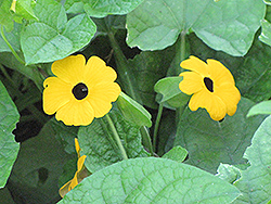 Black-Eyed Susan Vine (Thunbergia alata) at All Seasons Nursery