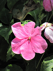 Dazzler Deep Pink Impatiens (Impatiens 'Dazzler Deep Pink') at All Seasons Nursery