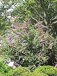 Pink Delight Butterfly Bush (Buddleia davidii 'Pink Delight') at All Seasons Nursery