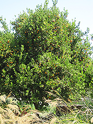 Valencia Orange (Citrus sinensis 'Valencia') at All Seasons Nursery