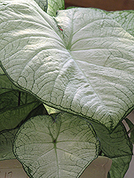 Moonlight Caladium (Caladium 'Moonlight') at All Seasons Nursery