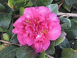 Bonanza Camellia (Camellia sasanqua 'Bonanza') at All Seasons Nursery