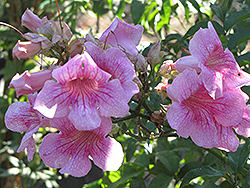 Pink Trumpet Vine (Podranea ricasoliana) at All Seasons Nursery