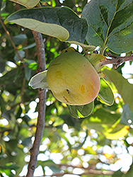 Fuyu Japanese Persimmon (Diospyros kaki 'Fuyu') at All Seasons Nursery