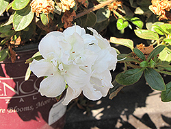 Encore® Autumn Moonlight™ Azalea (Rhododendron 'Mootum') at All Seasons Nursery