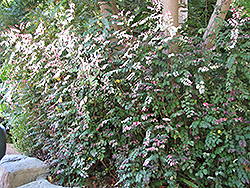 Snow Bush (Breynia disticha) at All Seasons Nursery
