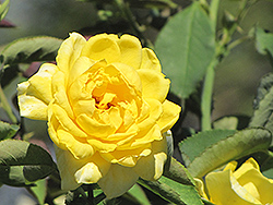 Mellow Yellow Rose (Rosa 'Mellow Yellow') at All Seasons Nursery