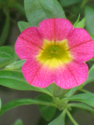Superbells® Sweet Tart Calibrachoa (Calibrachoa 'Superbells Sweet Tart') at All Seasons Nursery