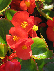 Bada Bing® Scarlet Begonia (Begonia 'Bada Bing Scarlet') at All Seasons Nursery