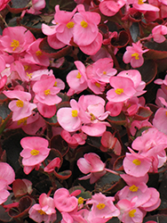 Bada Boom® Pink Begonia (Begonia 'Bada Boom Pink') at All Seasons Nursery