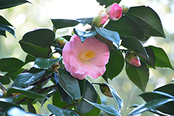 Berenice Boddy Camellia (Camellia japonica 'Berenice Boddy') at All Seasons Nursery