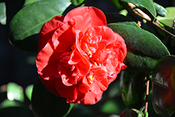 Dixie Knight Camellia (Camellia japonica 'Dixie Knight') at All Seasons Nursery