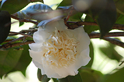 Snow Chan Camellia (Camellia japonica 'Snow Chan') at All Seasons Nursery