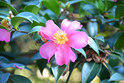 Hiryu Camellia (Camellia sasanqua 'Hiryu') at All Seasons Nursery