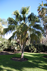 Chinese Fan Palm (Livistona chinensis) at All Seasons Nursery
