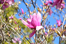 Betty Magnolia (Magnolia 'Betty') at All Seasons Nursery