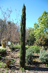 Tiny Tower® Italian Cypress (Cupressus sempervirens 'Monshel') at All Seasons Nursery