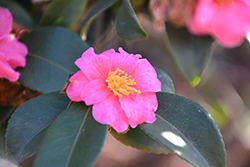 Sasanqua Camellia (Camellia sasanqua) at All Seasons Nursery