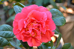 Kramer's Supreme Camellia (Camellia japonica 'Kramer's Supreme') at All Seasons Nursery