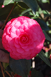 C.M. Hovey Camellia (Camellia japonica 'C.M. Hovey') at All Seasons Nursery