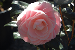 Pink Perfection Camellia (Camellia japonica 'Pink Perfection') at All Seasons Nursery