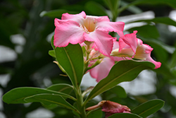 Desert Rose (Adenium obesum) at All Seasons Nursery