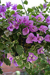 Blueberry Ice Bougainvillea (Bougainvillea 'Blueberry Ice') at All Seasons Nursery