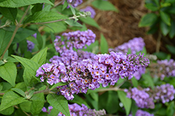 Lo And Behold® Blue Chip Dwarf Butterfly Bush (Buddleia 'Lo And Behold Blue Chip') at All Seasons Nursery