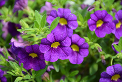 Superbells® Blue Calibrachoa (Calibrachoa 'Superbells Blue') at All Seasons Nursery