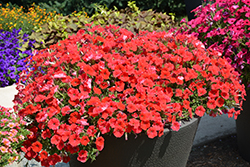 Supertunia® Really Red Petunia (Petunia 'Sunremi') at All Seasons Nursery
