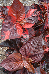 Copperhead Copper Plant (Acalypha wilkesiana 'Copperhead') at All Seasons Nursery