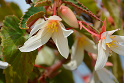 Bossa Nova® Pure White Begonia (Begonia boliviensis 'Bossa Nova Pure White') at All Seasons Nursery