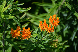 Butterfly Weed (Asclepias tuberosa spp. interior) at All Seasons Nursery